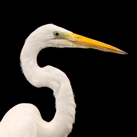Great Egret | National Geographic
