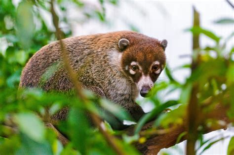 3 Coati HD Wallpapers   Background Images - Wallpaper Abyss