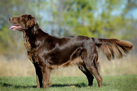 Flat Coated Retriever Information - Dog Breeds at NewPetOwners