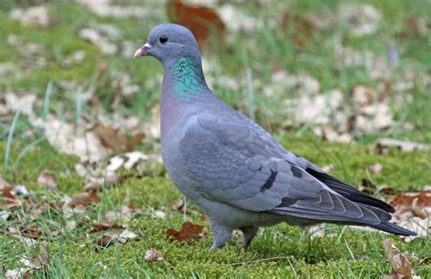 Stock Pigeon - song / call / voice / sound