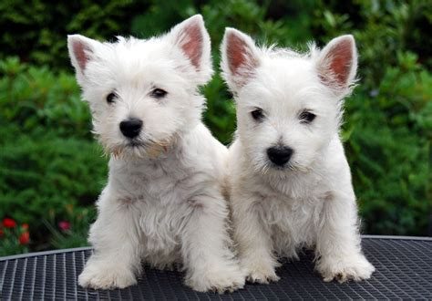 Westie Puppies - Small Animal Planet